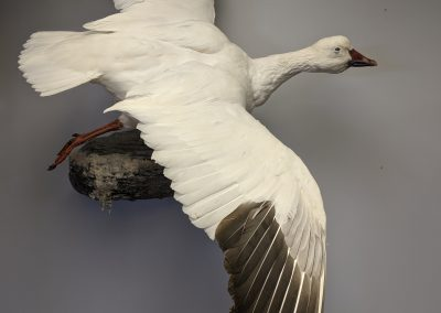 Goose Taxidermy Display – $200.00